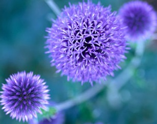 Globe Thistle is very soft